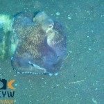 RS1035_Amphioctopus-marginatus-1-Coconut-octopus-scr