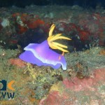 RS1203_Hypselodoris-apolegma-2-scr