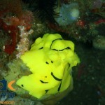 RS1258_Aegires-minor-7-Banana-nudibranch-scr
