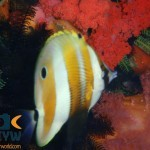 RS138_Coradion-chrysozonus-Orange-banded-coralfish-scr