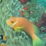 RS1406_Amphiprion-nigripes-6-Maldives-anemonefish-scr