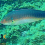 RS1507_Coris-julis-1-Rainbow-wrasse-scr