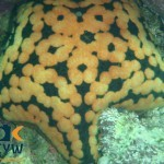 RS2074_Culcita-coriacea-2-Grainy-cushion-star-scr