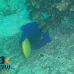 RS2338_Zebrasoma-xanthurum-1-Yellowtail-tang-scr
