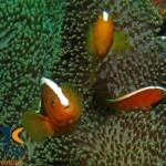 RS2451_Orange-anemonefish-Amphiprion-sandaracinos-Sulawesi-Indonesia-scr
