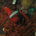 RS2461_Tomato-Anemonefish-Amphiprion-frenatus-Philippines-scr