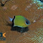 RS2463_Blackbar-chromis-Chromis-retrofasciata-Halmahera-Indonesia-scr