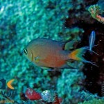 RS2466_Darkfin-chromis-Chromis-atripes-Halmahera-Indonesia-scr