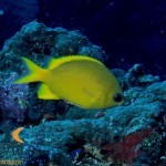 RS2480_Yellow-chromis-Chromis-analis-Halmahera-Indonesia-scr