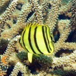 RS2504_Eight-banded-butterflyfish-Chaetodon-octofasciatus-Halmahera-Indonesia-scr