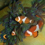 RS35_Amphiprion-ocellaris-1-False-clown-anemonefish-scr