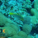 RS703_Halichoeres-hortulanus-1-Checkerboard-wrasse-scr