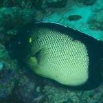 apolemichthys-xanthotis-1-red-sea-angelfish