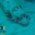 arothron-hispidus-9-white-spotted-puffer
