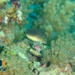 canthigaster-margaritata-2-red-sea-toby
