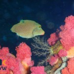canthigaster-papua-1-papuan-toby