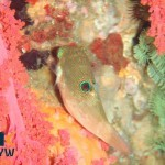 canthigaster-papua-2-papuan-toby