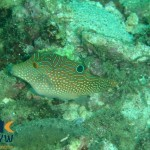 canthigaster-solandri-2-spotted-toby