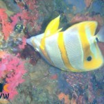 chelmon-rostratus-long-beaked-coralfish