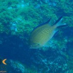chromis-limbata-1-atlantic-damselfish