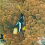 RS1395_Amphiprion-clarkii-4-Clarks-anemonefish-scr