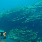 RS1958_Acropora-downingi-1-Downing-table-coral-scr