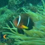 RS1981_Amphiprion-omanensis-4-Oman-anemonefish-scr