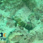 RS2069_Cryptocentrus-lutheri-9-Luthers-shrimpgoby-scr