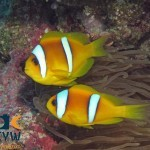 RS2447_Clarks-anemonefish-Amphiprion-clarkii-Egypt-scr