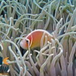 RS2456_Pink-anemonefish-Amphiprion-perideraion-Halmahera-Indonesia-scr