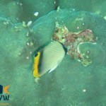 chaetodon-pictus-2-painted-butterflyfish