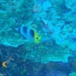 chaetodon-ulietensis-1-pacific-double-saddle-butterflyfish